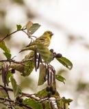 Siskin maschio con i frutti sull'albero Fotografia Stock Libera da Diritti