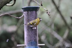Siskin on a Niger Feeder. Royalty Free Stock Image
