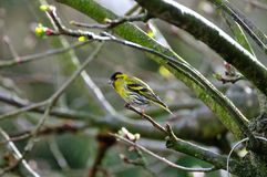 A Siskin perched on branch. Royalty Free Stock Photos