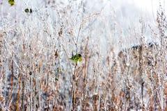 Siskin que se sienta en una hierba seca larga Foto de archivo