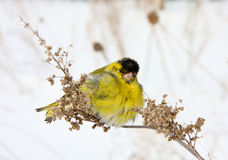 Siskin. The ruffled-up siskin sits on a grass in the winter afternoon Stock Photo