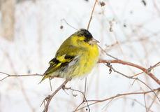 Siskin Stock Photography