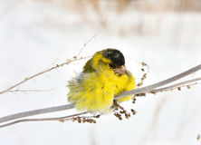 Siskin. The ruffled-up siskin sits on a grass in the winter afternoon Royalty Free Stock Photo