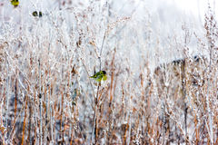 Siskin se reposant sur une longue herbe sèche photo stock