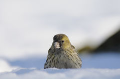 Siskin with a seed in a snowdrift. Female siskin (Carduelis spinus) in snow. Moscow region, Russia Stock Photos