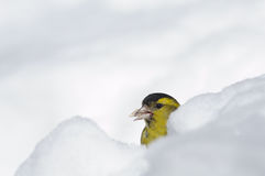 Siskin with a seed in a snowdrift. Male siskin (Carduelis spinus) in snow. Moscow region, Russia Royalty Free Stock Photos
