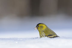 Siskin with a seed in a snowdrift. Male siskin (Carduelis spinus) in snow. Moscow region, Russia Stock Photography