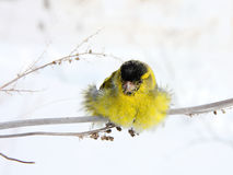 Siskin. The siskin sits on a grass in the winter sunny day Royalty Free Stock Photo