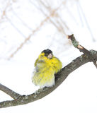 The siskin sits on a branch Stock Photos