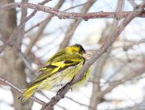 The siskin sits on a branch Stock Image
