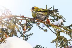 Siskin sits on a snowy branch in winter with sunny hotspot. Winter, wildlife, birds Royalty Free Stock Image
