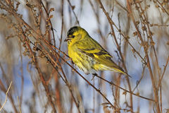 Siskin sitting on a branch weeds Royalty Free Stock Photography