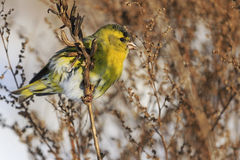Siskin sitting on a branch weeds, wild field Royalty Free Stock Image