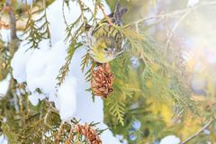 Siskin on snow-covered fir tree in the sun Stock Image