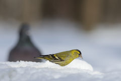 Siskin in snow and Domestic pigeon at background. Male Siskin (Carduelis spinus) and  Domestic pigeon (Columba livia) in snow. Moscow region, Russia Royalty Free Stock Photo