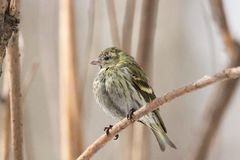 Siskin in the snow. The photo depicts a siskin in the snow Royalty Free Stock Image