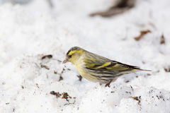 Siskin in the snow. The photo depicts a siskin in the snow Stock Images