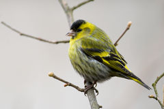 Siskin (spinus de Carduelis) Photos stock