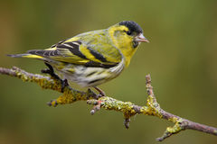 Siskin in spring plumage Stock Photos