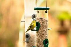 Siskin sull'alimentatore dell'uccello fotografia stock libera da diritti