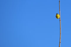 Siskin sur la montre Photo libre de droits