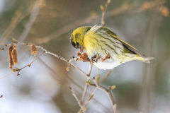 Siskin on thin birch branch eats  earrings. Siskin on thin birch branch eats birch earrings,northern bird, siskin, migration, winter, winter survival Stock Photography