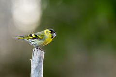 Siskin on top Stock Photos