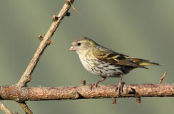 Siskin. Stock Photo