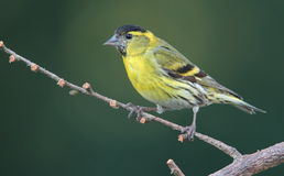 Siskin. Royalty Free Stock Images