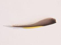 Siskinvogelveer Stock Foto