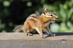 Siskiyou chipmunk (Neotamias Siskiyou) Zdjęcia Stock
