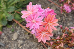 Siskiyou Lewisia flowers - Lewisia Cotyledon. `Siskiyou Lewisia` flowers or Cliff Maids in St. Gallen, Switzerland. Its scientific name is Lewisia Cotyledon Stock Photo