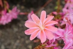 Siskiyou Lewisia flowers - Lewisia Cotyledon. `Siskiyou Lewisia` flowers or Cliff Maids in St. Gallen, Switzerland. Its scientific name is Lewisia Cotyledon Stock Photos