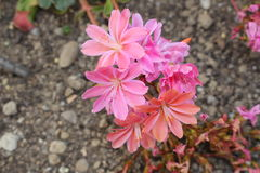 Siskiyou Lewisia flowers - Lewisia Cotyledon. `Siskiyou Lewisia` flowers or Cliff Maids in St. Gallen, Switzerland. Its scientific name is Lewisia Cotyledon Royalty Free Stock Image