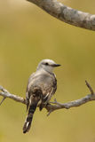 Sissor-tailed flycatcher Royalty Free Stock Images