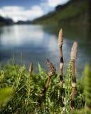 Sista år horsetail på Chilkoot sjön Royaltyfri Foto