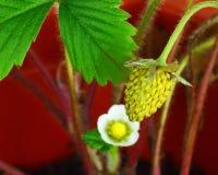 Sista jordgubbe Royaltyfria Bilder