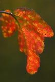 sista leaf Fotografering för Bildbyråer