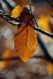 sista leaf Royaltyfri Foto
