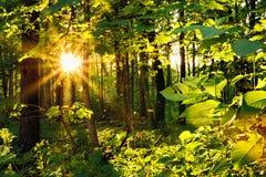 Sista solstrålar i skogen Arkivbilder