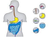 Sistema alimentar humano ilustração royalty free