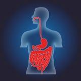 Sistema alimenticio humano ilustración del vector