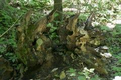Sistema caido de la raíz del árbol fotografía de archivo