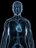 Sistema cardiovascolare illustrazione di stock