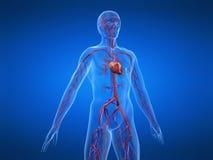 Sistema cardiovascolare royalty illustrazione gratis