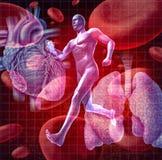 Sistema cardiovascular Foto de Stock