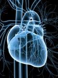 Sistema cardiovascular Fotos de archivo libres de regalías