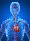Sistema cardiovascular Imagen de archivo libre de regalías