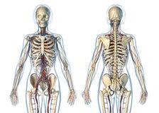 Sistema cardiovascular da anatomia da mulher com vistas de esqueleto, traseiras e dianteiras ilustração do vetor