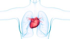 Sistema cardiovascular dos ?rg?os do corpo humano com anatomia do cora??o ilustração royalty free